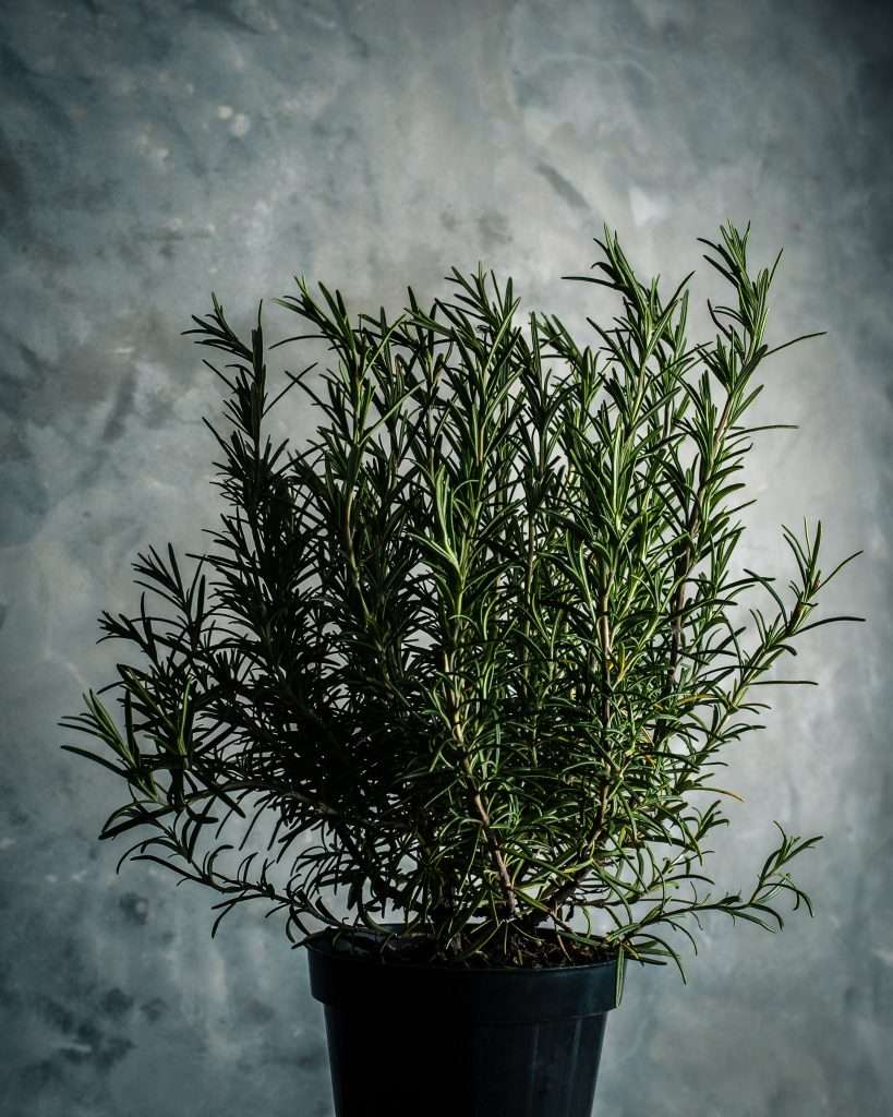 Fresh Rosemary in a pot
