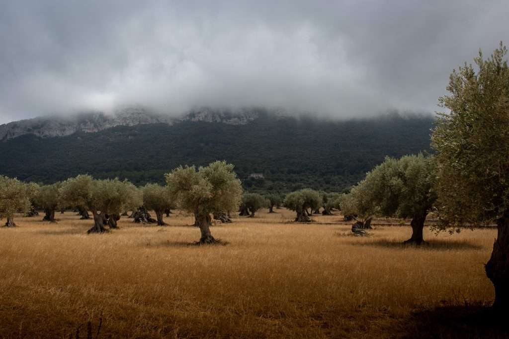 French olive trees in an olive grove